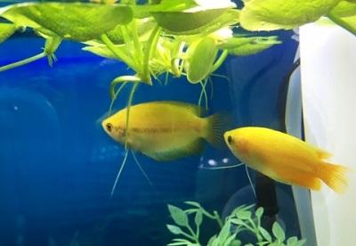 金魚鉢で飼える魚 ゴールデン ハニードワーフグラミー
