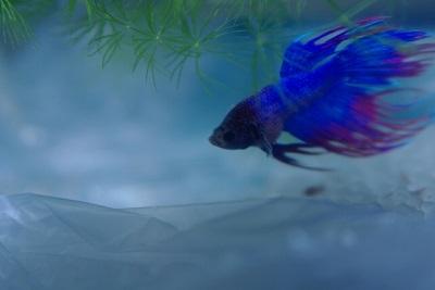 金魚鉢で飼える魚