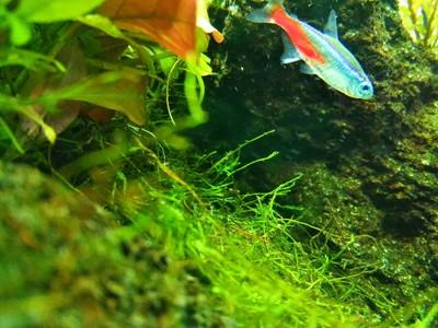 金魚鉢で飼える魚ネオンテトラ