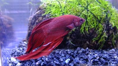 金魚鉢で飼える魚ベタ